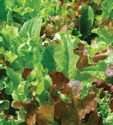 Lettuce 'All Star Gourmet Mix'