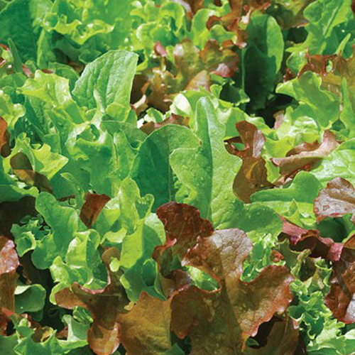 Lettuce 'All Star Gourmet Mix'