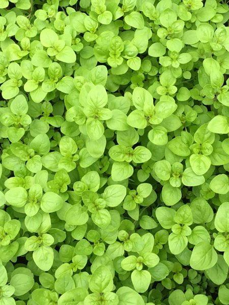 Oregano 'Golden Green' (Origanum vulgare)