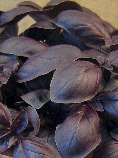 Basil 'Genovese Crimson King' (Ocimum basilicum)
