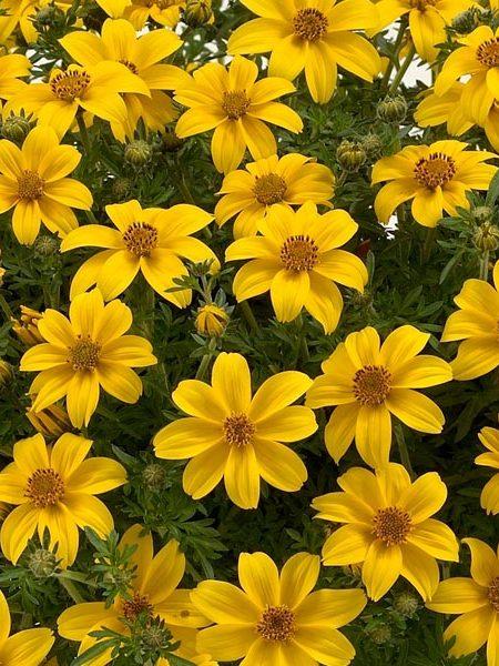Bidens 'Yellow Charm'