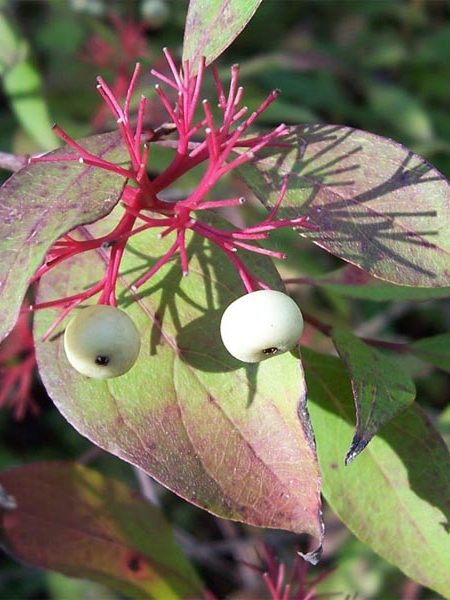 Cornus sericea (red dogwood)