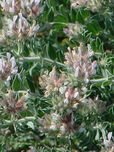 Dorycnium hirsutum (astragalus)