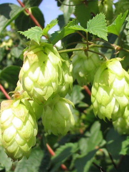 Humulus lupulus (hops)