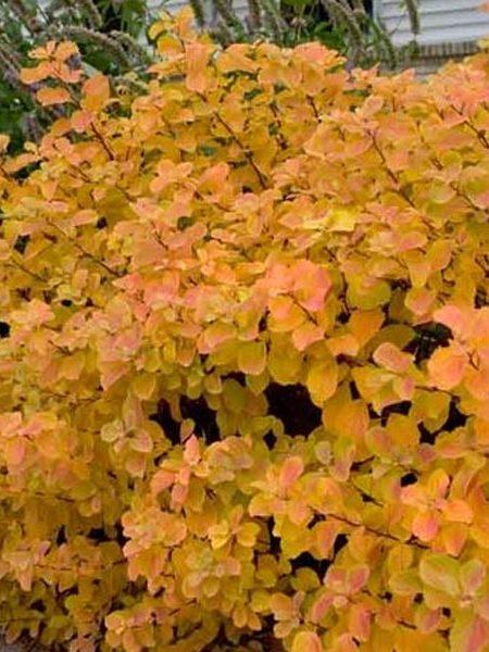 Spirea betulifolia
