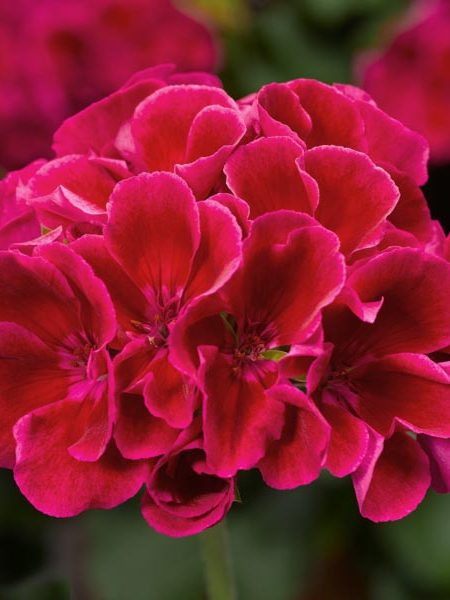 Interspecific Geranium 'Calliope Medium Crimson Flame'