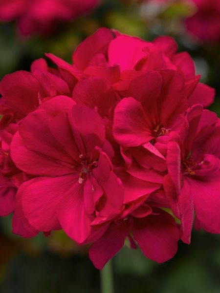 Interspecific Geranium 'Calliope Medium Hot Pink'