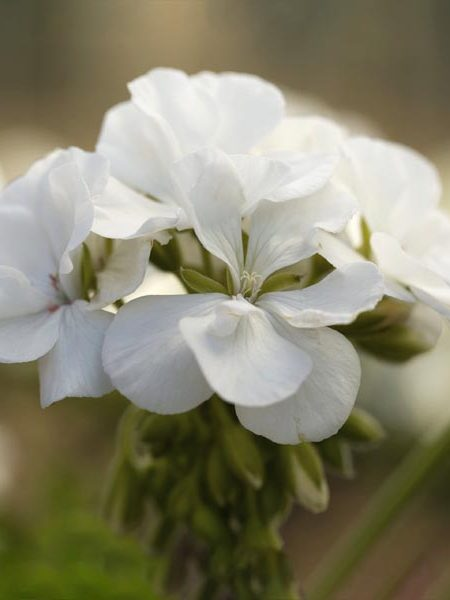 Interspecific Geranium 'Calliope Medium White'
