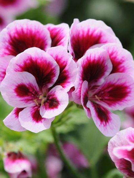 Regal Geranium 'Candy Flowers Bicolor'