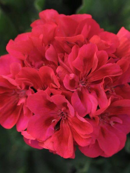 Zonal Geranium 'Fantasia Cranberry Sizzle'