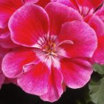 Zonal Geranium 'Fantasia Strawberry Sizzle'