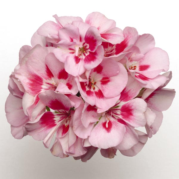 Zonal Geranium 'Presto Pink Sizzle'