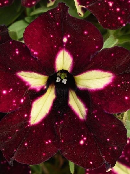Petunia 'Headliner Starry Sky Burgundy'