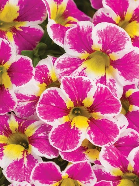 Petunia 'Calibrachoa Superbells Holy Cow!'