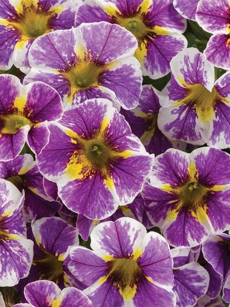 Petunia 'Calibrachoa Superbells Holy Smokes!'