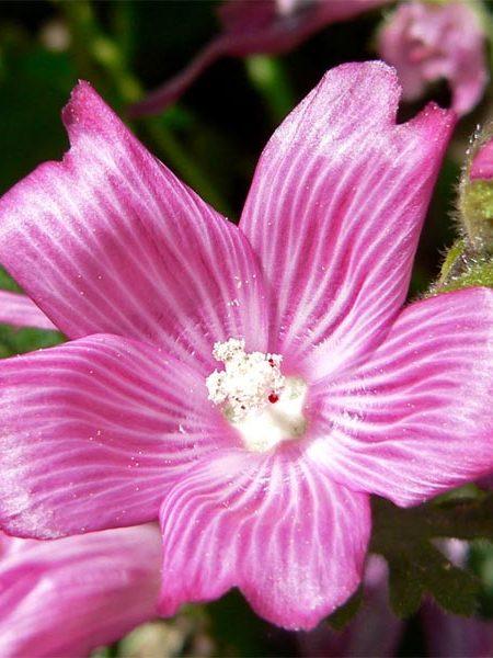 Sidalcea malviflora (checkerbloom)
