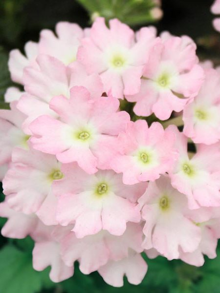 Verbena 'Firehouse Light Pink'