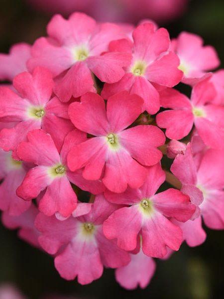 Verbena 'Firehouse Pink'