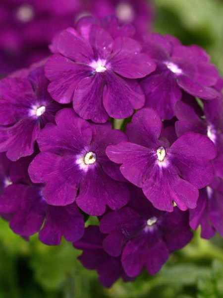 Verbena 'Firehouse Purple'