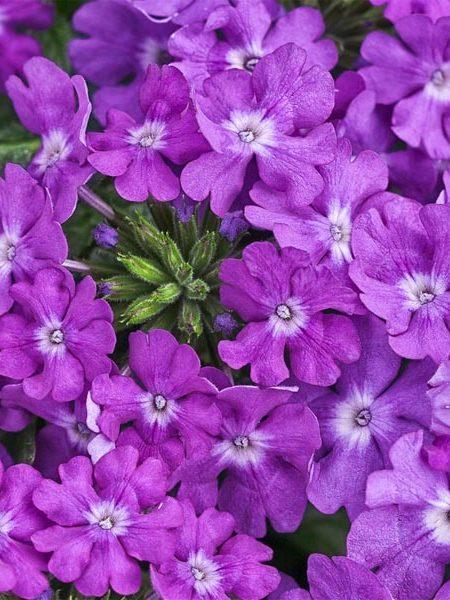 Verbena 'Superbena Violet Ice'