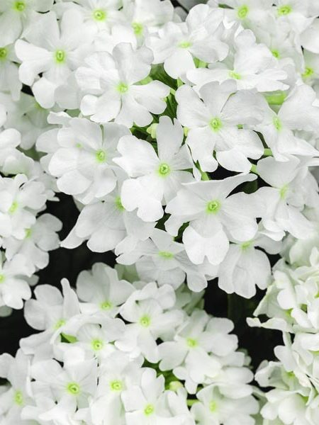 Verbena 'Superbena Whiteout'