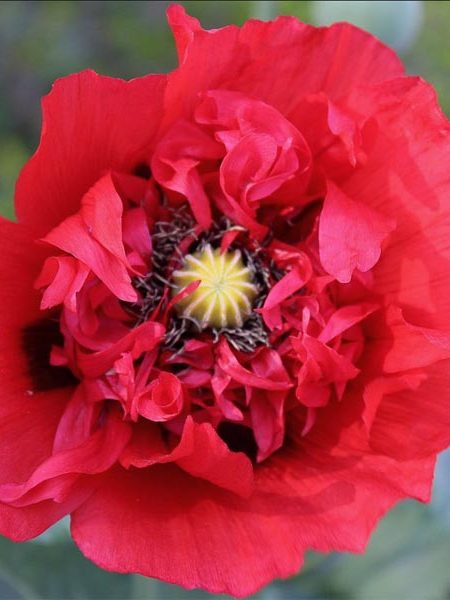 Papaver laciniatum 'Double Red Shades China Red'