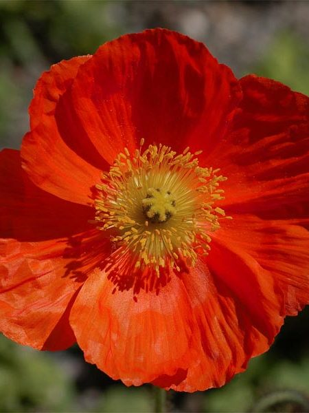 Papaver laciniatum 'Fringed Red Single'