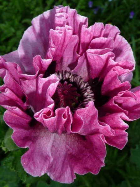 Papaver laciniatum 'Jerry's Double Lavender'