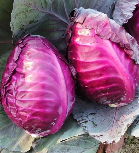 Cabbage 'Tinty'