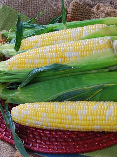 Corn 'Temptress'