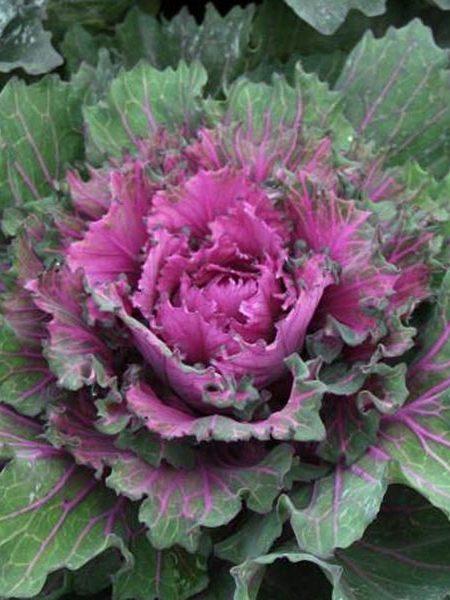 Kale 'Starmaker Buttonhole'