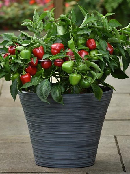 Pepper (Sweet) 'Snackabelle Red'