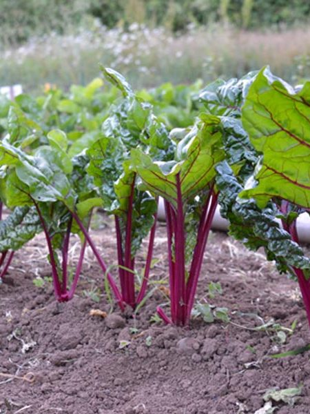 Swiss Chard 'Fire Fresh'