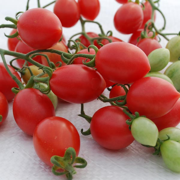 Tomato 'Pink Champagne' Cream of the Crop Grape Tomato