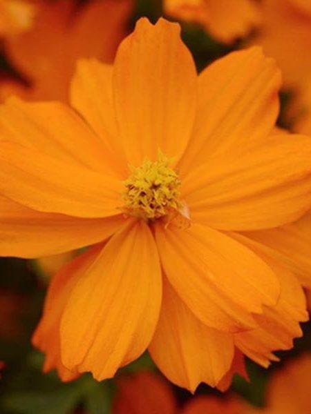 Cosmos sulphureus 'Mandarin'