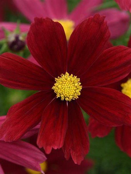 Cosmos bipinnatus 'Sonata Red Shades'