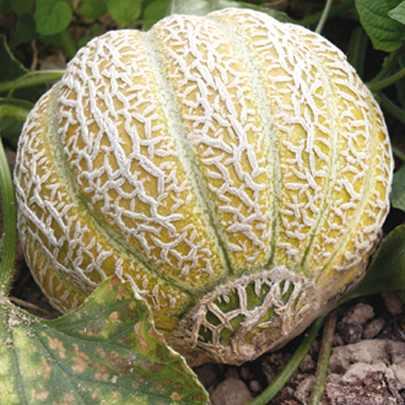 Heirloom Melon 'Jenny Lind' True Cantaloupe