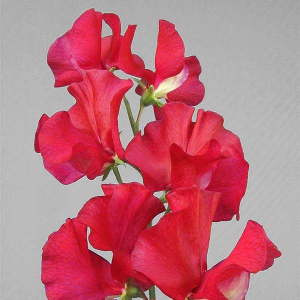 Lathyrus odoratus 'Lipstick' Sweet Pea