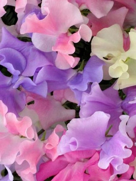 Lathyrus odoratus 'Spencer Mix' Spencer Sweet Pea