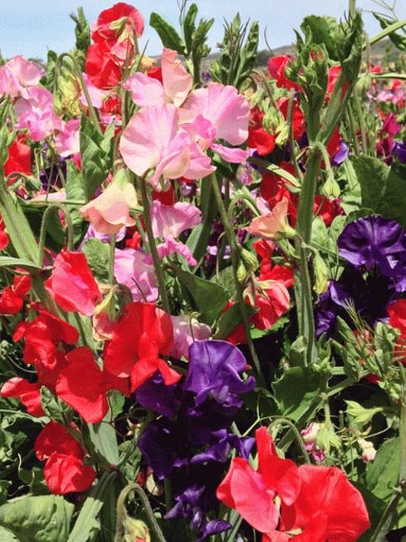 Lathyrus odoratus 'Spencer Mix' Spencer Sweet Pea