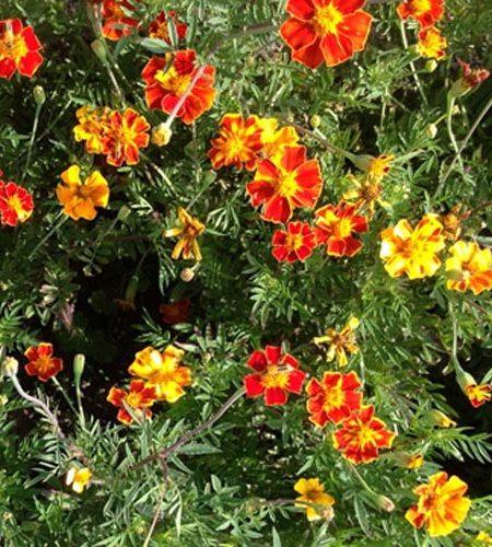 Tagetes tenuifolia 'Glowing Embers'