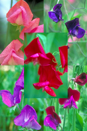 Lathyrus odoratus 'Old Spice Queen of the Night Mix' Old-Fashioned Sweet Pea