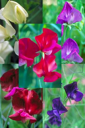 Lathyrus odoratus 'Starry Night Mix' Old-Fashioned Sweet Pea