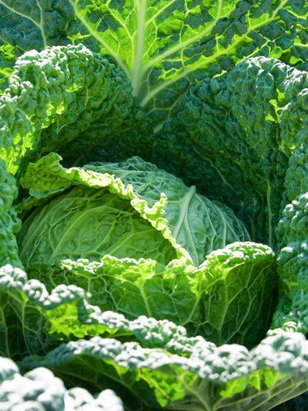 Cabbage 'Savoy Clarissa'