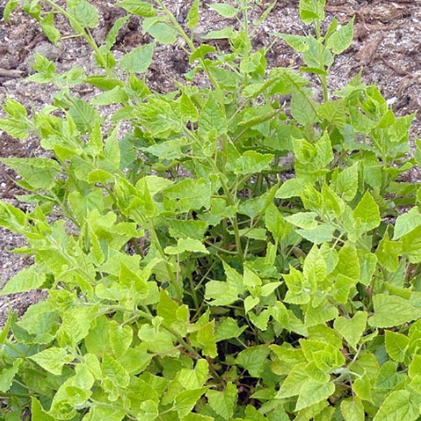 Caucasian Mountain Spinach (Hablitzia tamnoides)