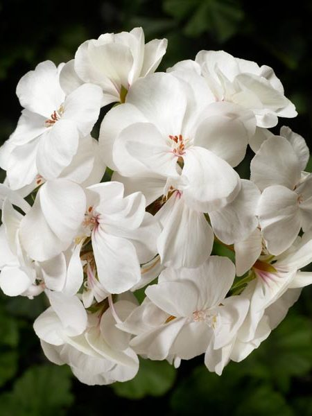 Interspecific Geranium 'Caliente White'