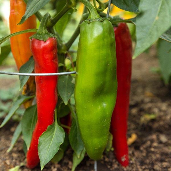 Heirloom Pepper (Hot) 'Hatch NuMex Big Jim' Anaheim