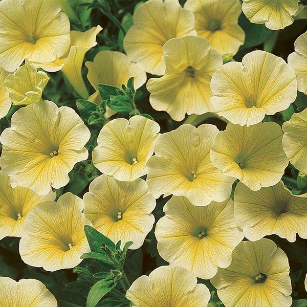 Petunia 'Surfinia Patio Yellow'