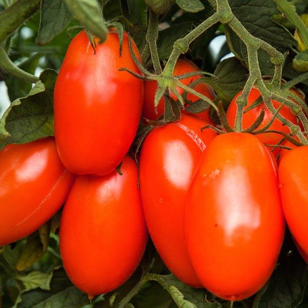 Tomato 'Roma' Grafted Mighty 'Mato