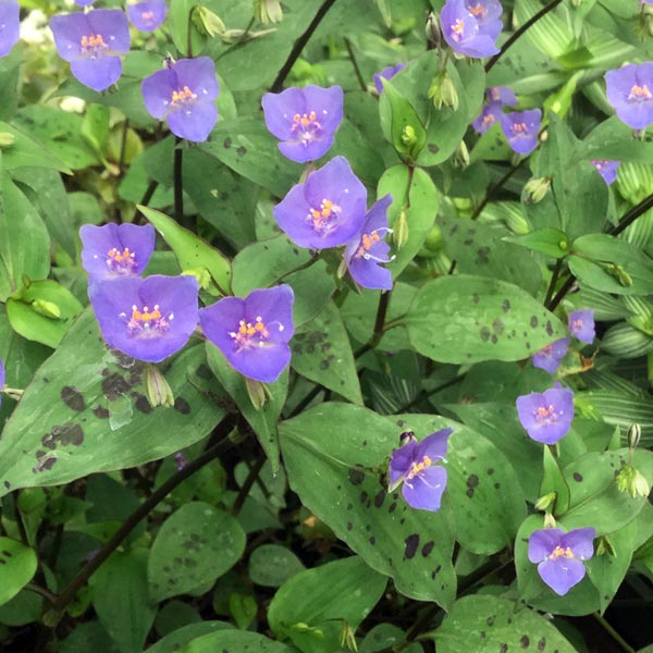 Tradescantia 'Spotted Blue Flower'
